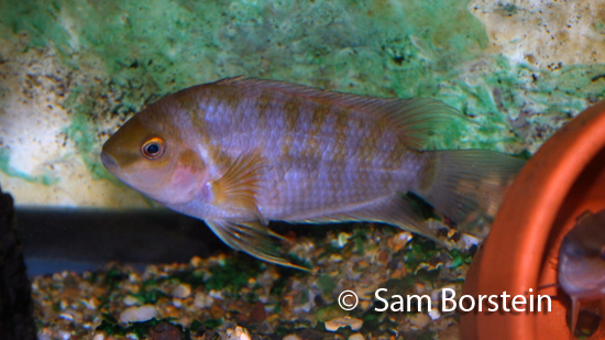 "Archocentrus kanna ""Bocas del Toro"" male in breeding color"