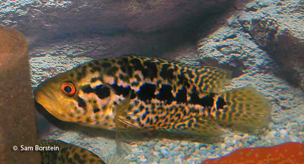Jaguar Cichlid Over Eggs
