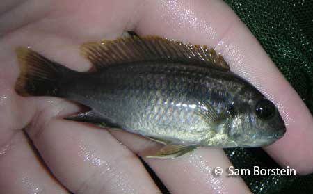 Gephyrochromis lawsi female