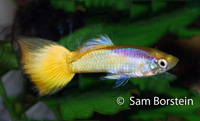 Yellow Micariff Guppy
