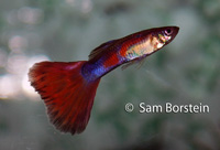 Red Fin Guppy
