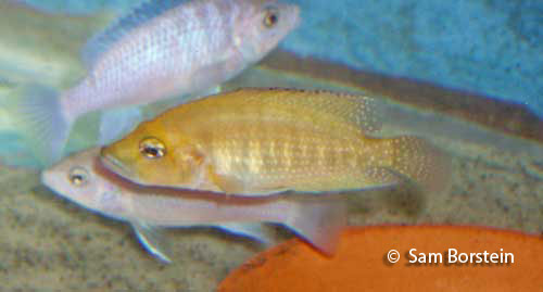 "Altolamprologus compressiceps ""Gold"""