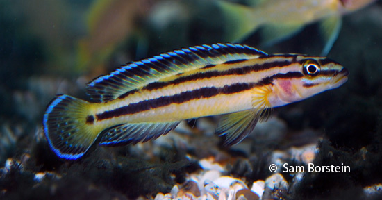 "Julidochromis sp. ""kipili regani"""